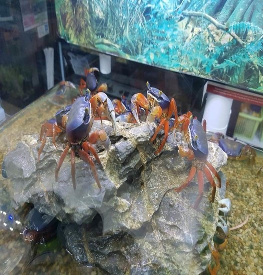 Crabbie Acquaintance – Available At Pets Kampong